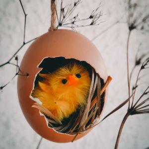 Küken im Nestbau